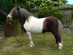 Earlsdon Co-Co - Shetland Pony stallion (also mushroom)
