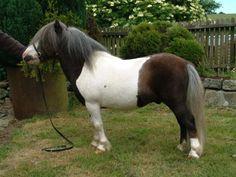 Earlsdon Co-Co - Shetland Pony stallion (also mushroom)