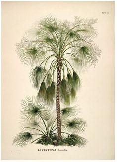 Livistona Humilis. Botanical Palm Print