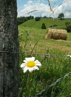 daisy on a barbed wire fence...