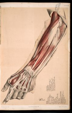 Wrist and forearm muscle detail.