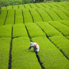 Tea quality checking before the picking day at tea plantation, Jissou-ji temple, Fuji City, Shizuoka, Japan Shizuoka, Chai, Field Wallpaper, Tea Blog, Tea Plant, Cuppa Tea, We Are The World, Plantation, Tea Ceremony