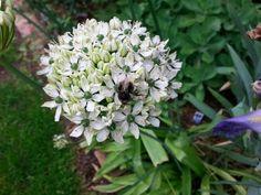 Allium weiss