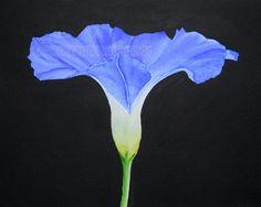 "carol sapp morning glory watercolor painting archival print 8"" x 10"". $18.00, via Etsy."