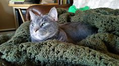 """From Tiffany: """"Here is a picture of my sassy, but cuddly grey cat Tiki. He is a sweetheart when he wants to cuddle and can be vocal when he wants his cat food."""" In November, we are celebrating gray cats. www.catfaeries.com - Products for good behavior & health for the modern housecat."""