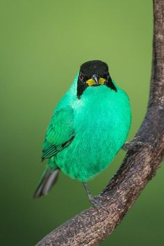 The green honeycreeper (Chlorophanes spiza) is a small bird in the tanager family. It is found in the tropical New World from southern Mexico south to Brazil, and on Trinidad. Kinds Of Birds, Birds 2, Small Birds, Little Birds, Colorful Birds, Wild Birds, Love Birds, Pretty Birds, Beautiful Birds