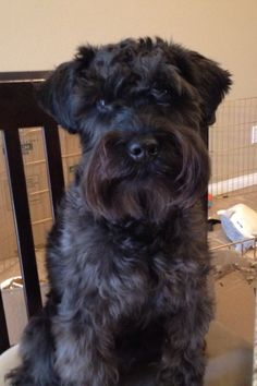 This is little Mason an adorable little black mini Schnauzer, he is such a lover boy✨✨