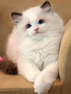 white ragdoll cat, sweet face, perfect eye shape, and deep blue color. Lovelovelove