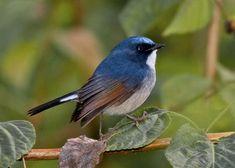 Ficedula tricolor(Slaty-blue Flycatcher)