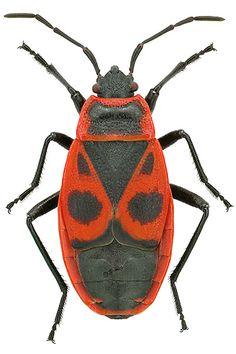 http://www.smnk.de/sammlungen/entomologie/wanzen/                                                                                                                                                                                 Mehr