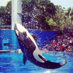 Gente!! #baleia #Shamu #SeaWorld #Orlando (em SeaWorld Orlando)