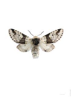 Snovit gaffelsvans Furcula bicuspis A
