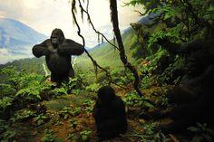 Habitat Dioramas - American Museum of Natural History  By Carl Akely--taxidermist/diorama creator extraordinaire