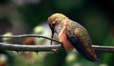 Hummingbird at Rosario Beach IV (by sparth)