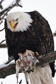 """Image of eagle feeding on salmon in Haines, Alaska taken by F. McGinn – Get travel and photography tips for the """"Council Ground of the Eagles, an astounding gathering of eagles in Haines, Alaska, at http://www.examiner.com/article/go-photograph-eagles-haines-alaska-spectacular-viewing"""