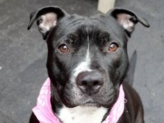 TO BE DESTROYED 04/14/15 – PEAR – A1031812 – MANHATTAN, NY -P- I am a female black and white american staff mix. The shelter thinks I am about 3 YEARS old. I came in the shelter as a STRAY on 03/31/2015 from NY 10029, owner surrender reason stated was STRAY. I came in with Group/Litter #K15-008553.
