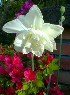 double poet's   Gardenia Narcissus have 1 - this has never yet bloomed for me - F2