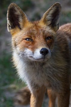 Red Fox by Rudi Van Eeckhoven on 500px