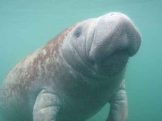 Manatees are very gentle and slow-moving. The majority of their time is spent eating, resting, and traveling .