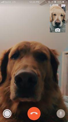 pinterest: @rimadisonn instagram: @rileyklein704 Mignonne, Funny Golden Retrievers, Dogs Golden Retriever, Doggies, Facetime, Dogs Video, Hey Bro, Cute Puppies, Cute Dogs