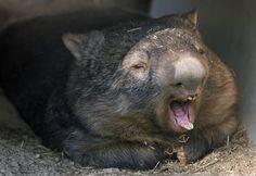 ウォンバット Funny Animals, Cute Animals, Bird People, Quokka, Opossum, All About Animals, Australian Animals, Wombat, Wild Ones