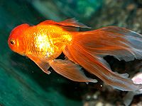 Goldfische sind reine Zuchtfische. Das heißt, sie kommen so wie wir sie heute kennen, nicht in der Natur vor, sondern wurden vom Menschen gezüchtet.