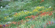 Wildflowers in the Bear River Range. © Susanne Janecke