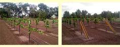 Grow Perfect Grapes-http://www.my-grape-vine.com/?hop=superdad76