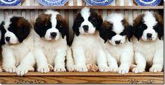 St. Bernards, by FAR the cutest puppies!