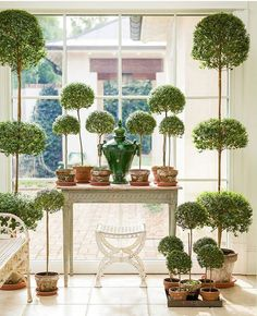 Absolutely adore this picture featured in Martha Stewart Living of @loithai's collection of Myrtle topiaries.  Photo by @helennorman  #myrtletopiaries #topiary #garden #classic #loithai #springtime