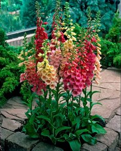 Easy Cottage Garden Foxglove Flower Combination Color (12)