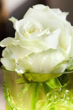 Classic white Avalanche+, the fabulous rose that started it all!