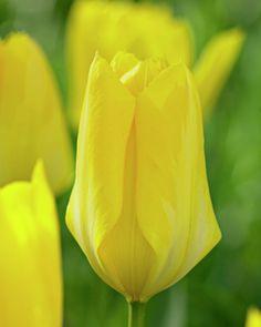 Fosteriana Tulip 'Candela'