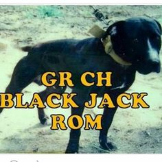 Gr Ch Black Jack Rom