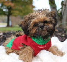 Teacup, imperial - Gorgeous! gold, red Shih-Tzu puppies-updated