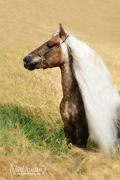 Steiermark, Haflinger stallion. Fotografie Bettina Niedermayr.