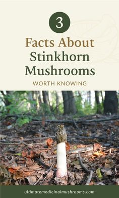 You've probably come across a lot of edible mushrooms that taste quite good in many dishes. But then again, not all of them will actually make the cut. Like the Stinkhorn Mushroom, for instance. If you're not familiar with this variety, here are 3 facts about stinkhorn mushrooms worth knowing. | Discover more about medicinal mushrooms at ultimatemedicinalmushrooms.com #mushroomidentification #mushroomvarieties #medicinalmushroom
