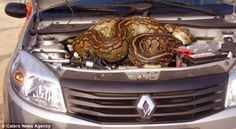 Africa | While on a game drive, a couple watched as a 16 foot long python slithered underneath their car and then never reappeared again.  It had settled under the car bonnet. Kruger National Park. South Africa
