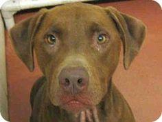 Missoula, MT - Labrador Retriever. Meet FINNLEY, a dog for adoption. http://www.adoptapet.com/pet/13790959-missoula-montana-labrador-retriever