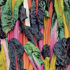 Swiss Chard, Five Color Silverbeet Organic | Seed Savers Exchange
