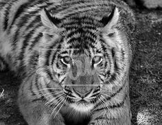 Black and white Tiger Animal Photography, Creatures, Black And White, Pets, Animals, Animales, Nature Photography, Black N White, Animaux