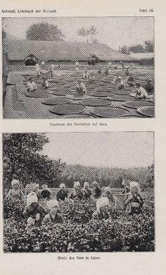 TEE Ernte in Japan und Java * 1921 Botanik Druck / Antique Botanical Print
