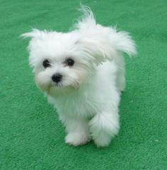 Maltese pup
