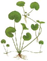Gotu Kola is a rejuvenative nervine recommended for nervous disorders, epilepsy, senility and premature aging. As a brain tonic, it is said to aid intelligence and memory. It strengthens the adrenal glands and cleanses the blood to treat skin impurities. It is said to combat stress and depression, increase libido and improve reflexes. It has also been indicated for chronic venous insufficiency, minor burns, scars, scleroderma, skin ulcers, varicose veins, wound healing...