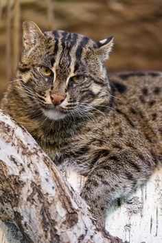 Female Fishing Cat by Tambako the Jaguar The fishing cat prefers to live near the water and is the best swimmer in the cat family. Sadly, it's losing its habitat due to human expansion.