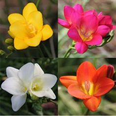 Freesia is a VERY popular variety of wholesale flowers which is often incorporated into bouquets and arrangements of wedding flowers. Freesia is known to have a very sweet fragrance - which is another reason for its popularity.  Freesia is available year-round in a number of different colors from flower farms in California.