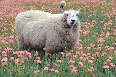 photo by woolyboy on flickr #sheep