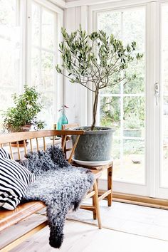 potted olive tree in the sunroom. gotland sheepskin