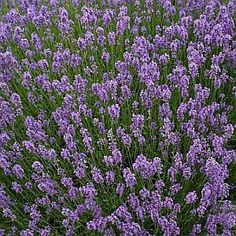 Perennial * Fragrant * English Lavender Plant Seeds in Home & Garden, Yard, Garden & Outdoor Living, Plants, Seeds & Bulbs Lavandula Angustifolia Munstead, Lavender Seeds, Lavender Flowers, Purple Flowers, Lavender Plants, Lavender Cake, White Flowers, Gardens, Landscaping