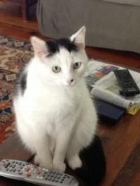 Lacey - Domestic Short Hair-black and white